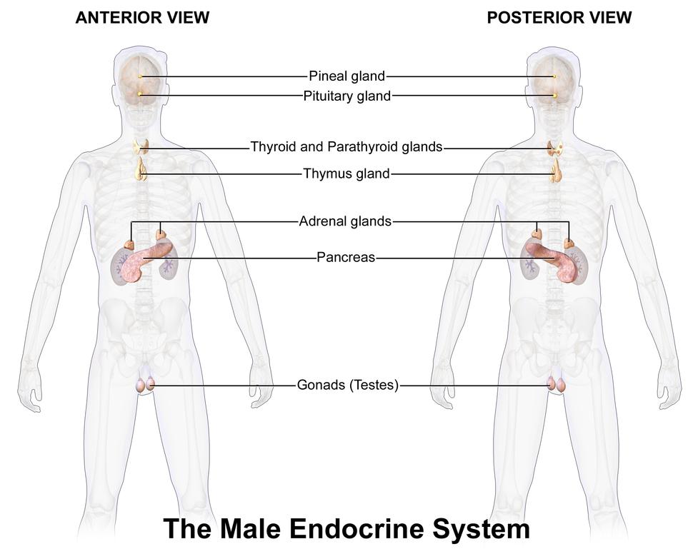 Blausen 0346 EndocrineSystem Male2
