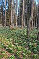 Bledule jarní v PR Králova zahrada 30.jpg
