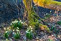 Bledule jarní v PR Králova zahrada 51.jpg