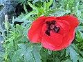 Blood red poppy - geograph.org.uk - 1505860.jpg