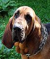 Bloodhound 423.jpg