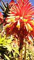 Blooming aloe, detail.jpg