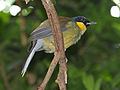 Blue-crowned Laughingthrush RWD6.jpg
