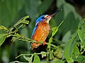 Blue-eared Kingfisher (Alcedo meninting) (8071061758).jpg