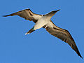 Blue-footed Booby Galapagos RWD2.jpg
