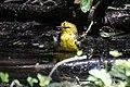 Blue-winged Warbler (bathing) Boy Scout Woods High Island TX 2018-04-11 12-53-32 (40901495885).jpg
