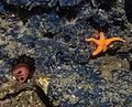Blue Cobalt Sponge, blood star and tunicate (15935593963).jpg