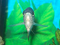 Blue Gourami Close Up.jpg