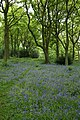 Bluebells, Old Spring Wood - geograph.org.uk - 440205.jpg