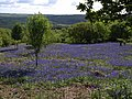 Bluebells on Easdon Down (5) - geograph.org.uk - 1333593.jpg