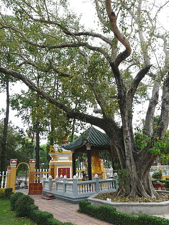 Giác Lâm Pagoda - The bodhi tree stands in the garden next to the pagoda.