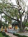Bodhi tree.jpg