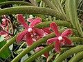 Bokchoonara Khaw Bian Huat -新加坡植物園 Singapore Botanic Gardens- (9204823359).jpg