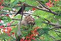 Bonnet macaque eating Delonix regia flowers 05.JPG