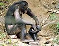 Bonobo (Pan paniscus) at Lola Ya Bonobo - 3.JPG