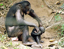 Bonobo apes love oral sex