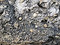 Brachiopods in fossiliferous limestone (Jeffersonville Limestone, Middle Devonian; Falls of the Ohio, southern Indiana, USA) 12 (32652046023).jpg