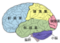 Brain diagram ja.png