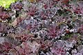 Brassica Chidori Red 0zz.jpg
