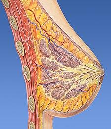 Breast anatomy normal.jpg
