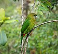 Brehm's Tiger Parrot, female Psittacella brehmii (48807404728).jpg