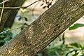 Broussonetia papyrifera in Christchurch Botanic Gardens.jpg