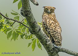 Brown Fish Owl at Howly by Hedayeat Ullah.jpg