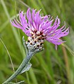 Brown Knapweed Centaurea jacea (5907754685).jpg