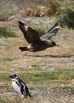 Brown Skua flying over a Magellanic Penguin (5541415768).jpg