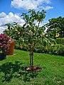 Brugmansia × candida 001.JPG