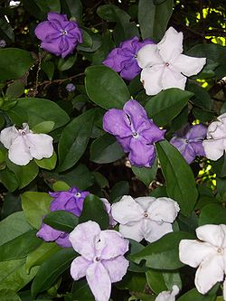 meaning of brunfelsia