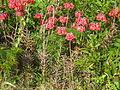 Bryophyllum delagoense habit3 (12079303514).jpg