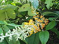 Buddleja madagascariensis-3-yercaud-salem-India.JPG
