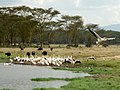 Buffaloes and pelicans.Lake Nakuru National Park.Буйволы и пеликаны - panoramio.jpg