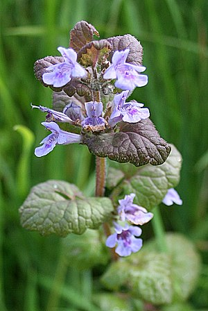 English: Bugle (Ajuga reptans) At least I thin...