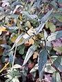 Buglossoides purpurocaerulea sl6.jpg
