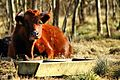 Bull - Rutland Water (16356085425).jpg