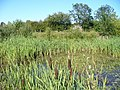 Bulrushes and Reeds - geograph.org.uk - 517636.jpg