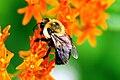 Bumblebee (Bombus sp.) pollinating milkweed (Asclepias sp.) (Cincinnati 2005).jpg