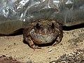 Burrowing Frog Sphaerotheca breviceps by Dr. Raju Kasambe DSCN6848 (4).jpg