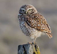 Burrowing Owl Look.jpg