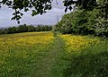 Buttercups on the East Deane Way (2) - geograph.org.uk - 1312534.jpg