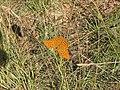Butterfly - panoramio (5).jpg