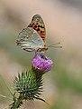 Butterfly Cardinal - Argynnis pandora - Bahadır.jpg
