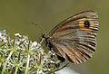 Butterfly Scotch Ringlet - Erebia aethiops.JPG