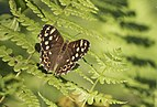 Butterfly Speckled Wood - Pararge aegeria 02.jpg