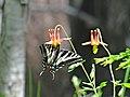 Butterfly on Columbine-Rogue River Siskiyou (25140355742).jpg