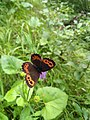 Butterfly on flower at Fallbach.jpeg