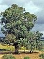 Cáceres, árboles 1975 07.jpg