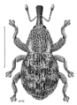 COLE Curculionidae Postacalles rangirua.png